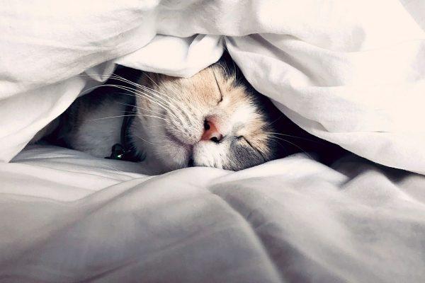 Cat asleep in white blankets